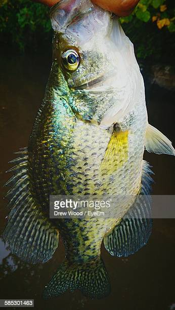 close-up of crappie fish - crappie stock pictures, royalty-free photos & images