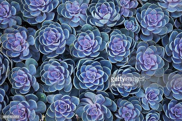 close-up of crassulaceae plants - succulent stock pictures, royalty-free photos & images