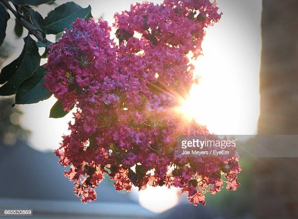 close-up of crepe myrtles flowers against sun - crepe myrtle tree stock pictures, royalty-free photos & images