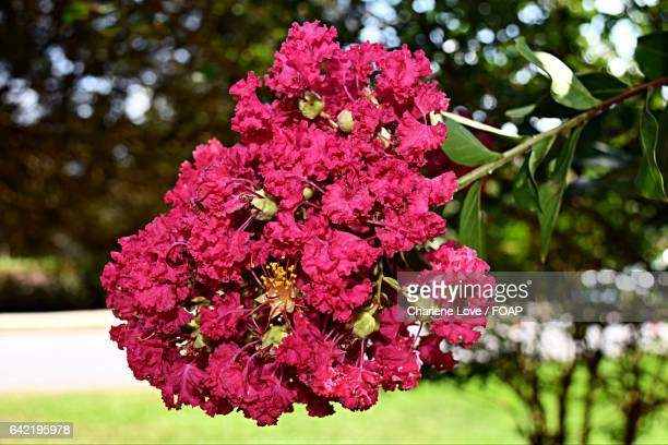 close-up of crepe myrtles flowers - crepe myrtle tree stock pictures, royalty-free photos & images