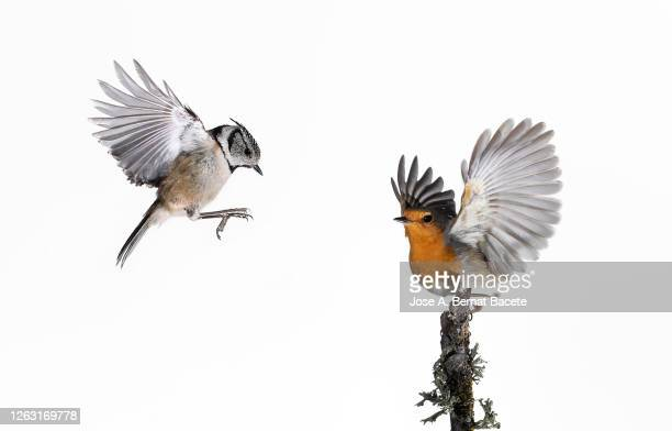 close-up of crested tit (lophophanes cristatus) and robin (erithacus rubecula), in flight on a white background. - vogel stock-fotos und bilder