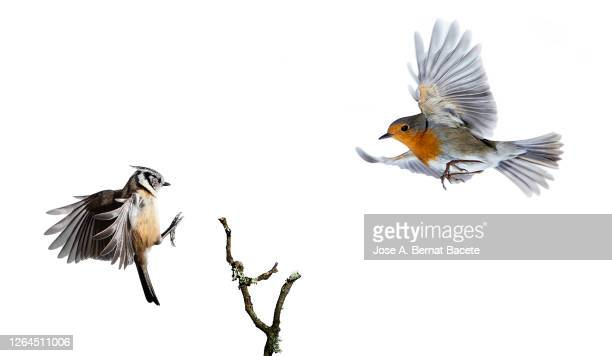 close-up of crested tit (lophophanes cristatus) and robin (erithacus rubecula), in flight on a white background. - bird stock pictures, royalty-free photos & images