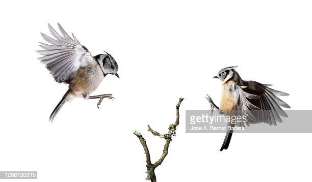 close-up of crested tit (lophophanes cristatus) in flight on a white background. - due animali foto e immagini stock