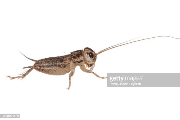 close-up of cricket against white background - cricket insect stock photos and pictures