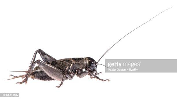 close-up of cricket against white background - insect stock pictures, royalty-free photos & images