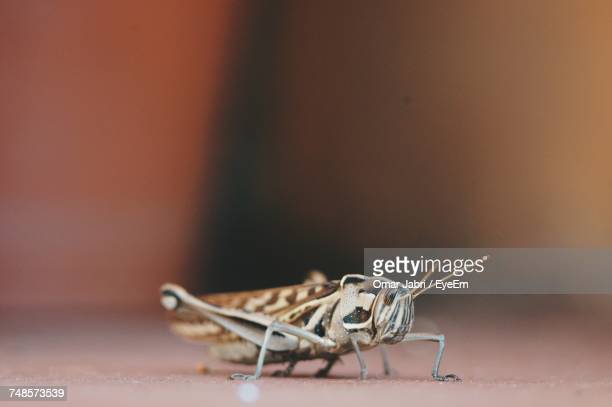 Close-Up Of Cricket Insect On Floor