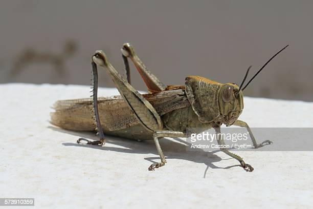 close-up of cricket perching outdoors - cricket insect stock pictures, royalty-free photos & images