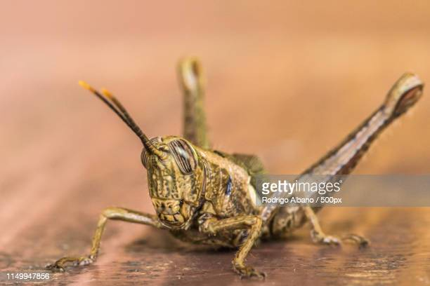 close-up of cricket - cricket insect stock pictures, royalty-free photos & images