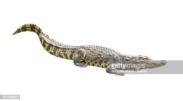 Close-Up Of Crocodile Against White Background