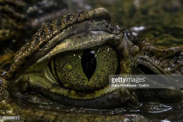 Close-Up Of Crocodile Eye