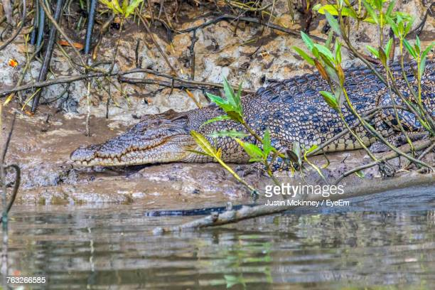 close-up of crocodile in the wild - cairns stock photos and pictures