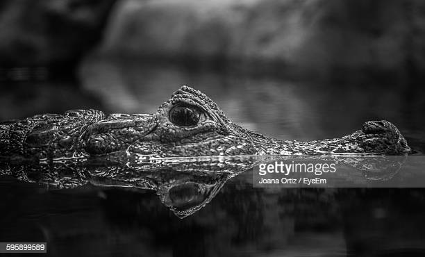 Close-Up Of Crocodile In Water At Zoo