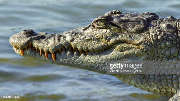 close-up of crocodile in water - animal teeth stock pictures, royalty-free photos & images