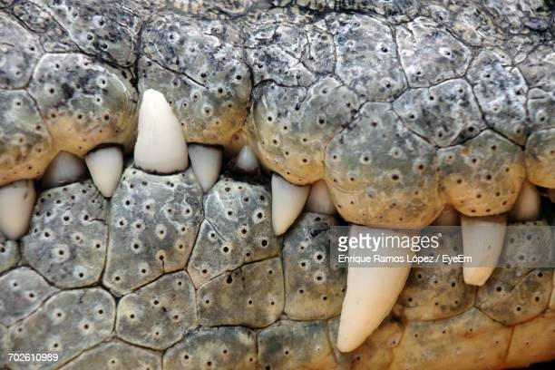 Close-Up Of Crocodile Mouth