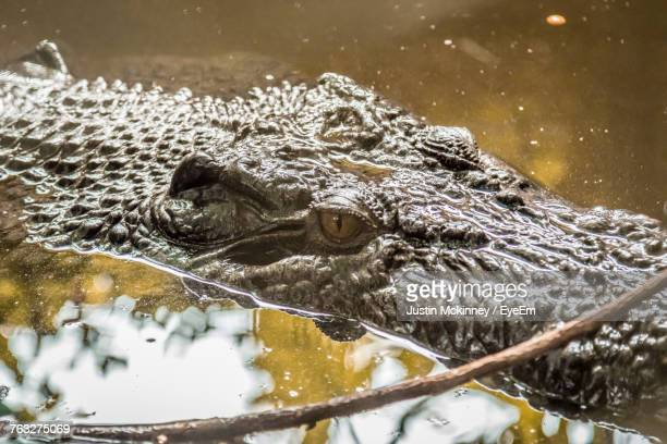 close-up of crocodile - cairns stock photos and pictures