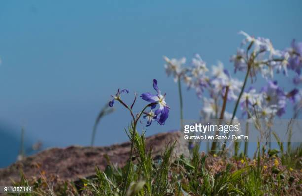 Close-Up Of Crocus Blooming Against Blue Sky