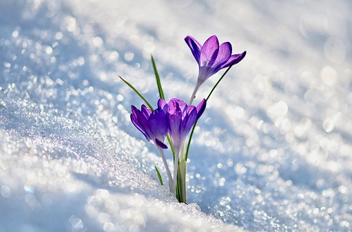 Close-Up Of Crocus Blooming During Winter - gettyimageskorea