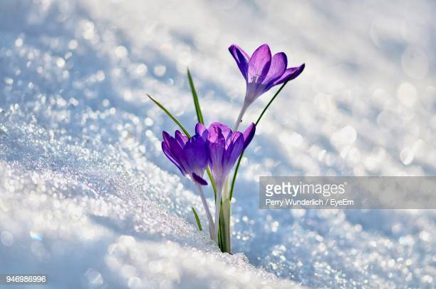 Close-Up Of Crocus Blooming During Winter