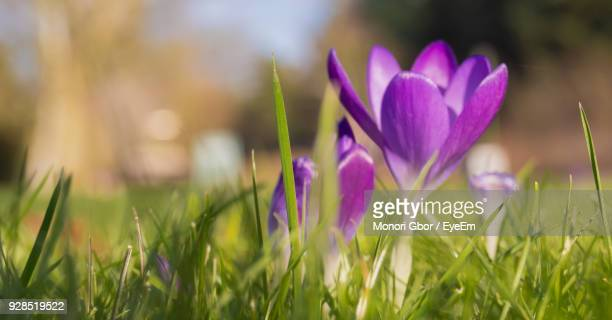 Close-Up Of Crocus Blooming On Field