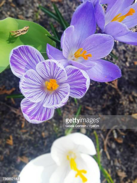 Close-Up Of Crocus Blooming Outdoors