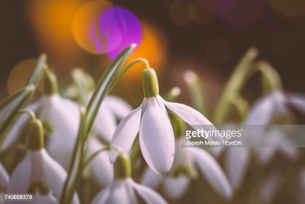 close-up of crocus blooming outdoors - st. albans stock pictures, royalty-free photos & images
