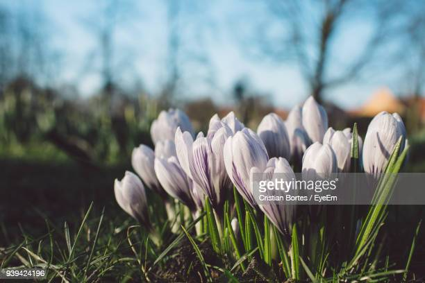 close-up of crocus blooming outdoors - snowdrop stock pictures, royalty-free photos & images