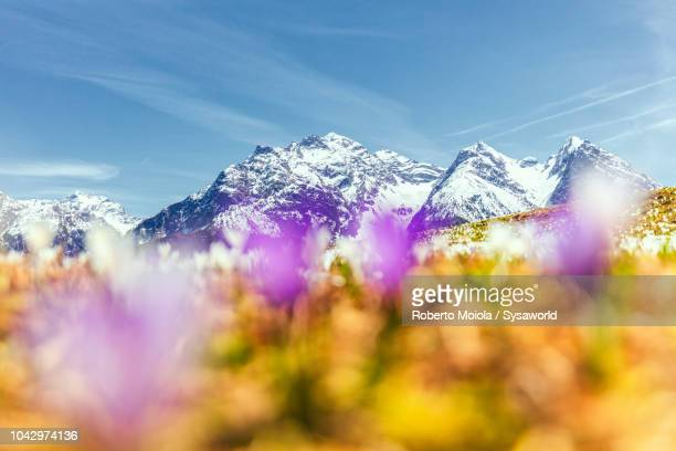 close-up of crocus flower, ftan - european alps stock pictures, royalty-free photos & images