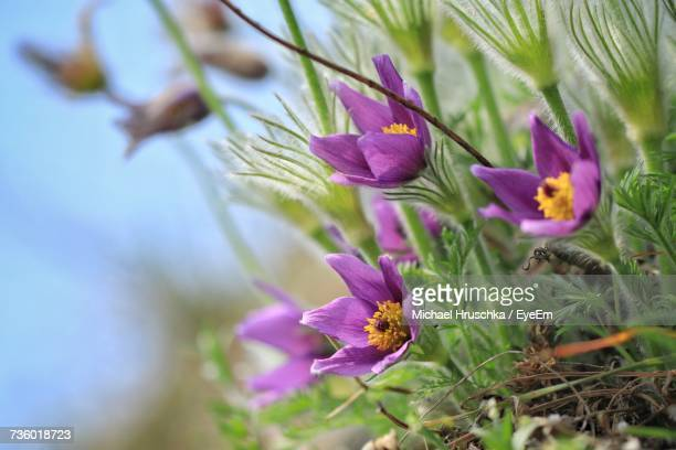 close-up of crocus flowers - michael hruschka stock pictures, royalty-free photos & images