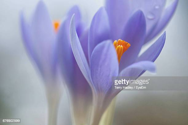 Close-Up Of Crocuses Blooming Outdoors