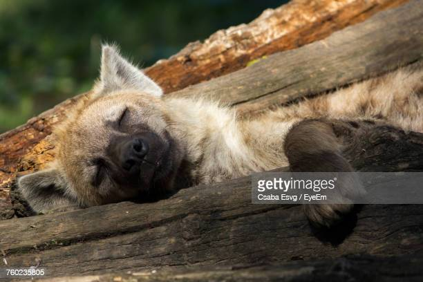 close-up of crocuta sleeping on wood - hyena stock pictures, royalty-free photos & images