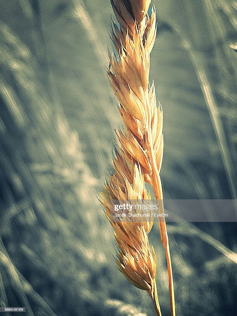 Close-Up Of Crop Growing On Field : Stock Photo