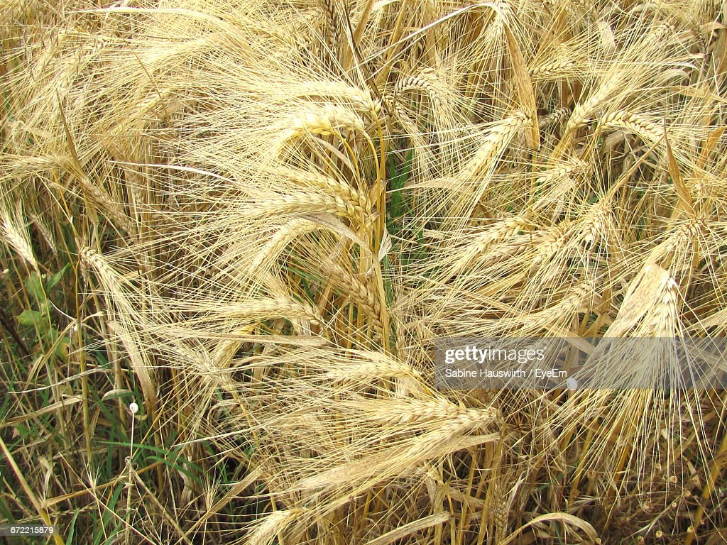 Close-Up Of Crop In Field : Stock-Foto