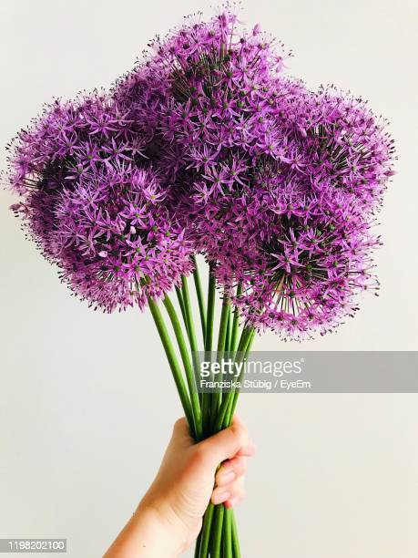 close-up of cropped hand holding purple flowers against white background - allium flower stock pictures, royalty-free photos & images
