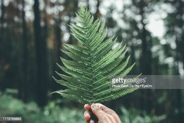 close-up of cropped hand of person holding fern leaves - reality fernsehen stock pictures, royalty-free photos & images