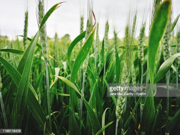 close-up of crops growing on field against sky - crop stock pictures, royalty-free photos & images