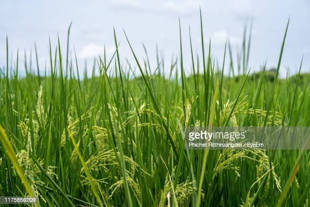 close-up of crops growing on field against sky - phichet ritthiruangdet stock photos and pictures