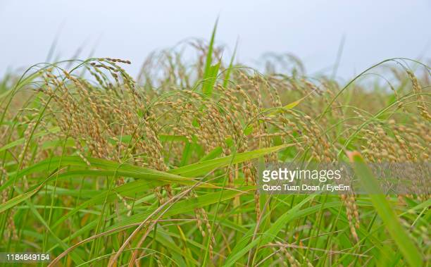 close-up of crops growing on field against sky - ナムディン ストックフォトと画像