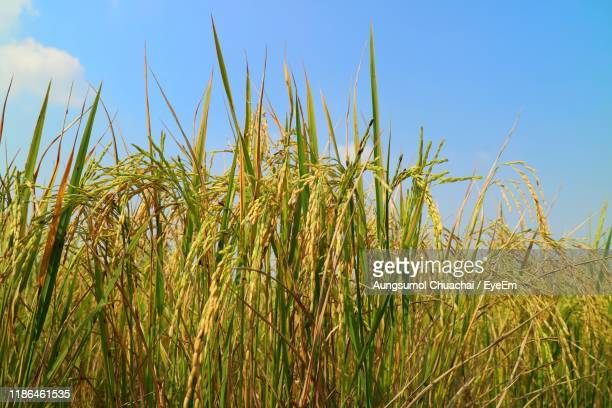 close-up of crops growing on field against sky - aungsumol stock pictures, royalty-free photos & images