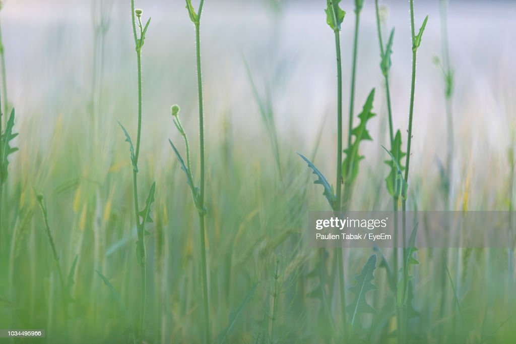 Close-Up Of Crops Growing On Field : Stockfoto