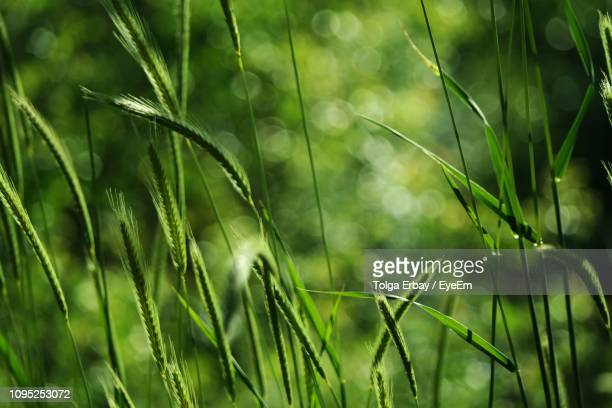 close-up of crops growing on field - tolga erbay stock photos and pictures