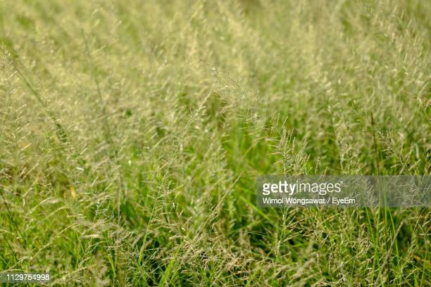 close-up of crops growing on field - wimol wongsawat stock photos and pictures