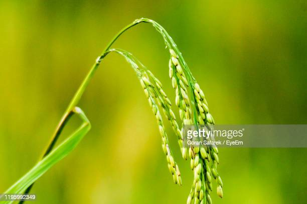 close-up of crops growing on field - rice paddy stock pictures, royalty-free photos & images