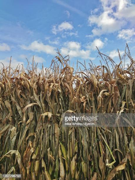 close-up of crops on field against sky - crop stock pictures, royalty-free photos & images