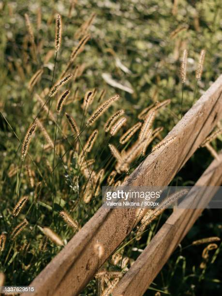 close-up of crops on field,russia - nikitina stock pictures, royalty-free photos & images