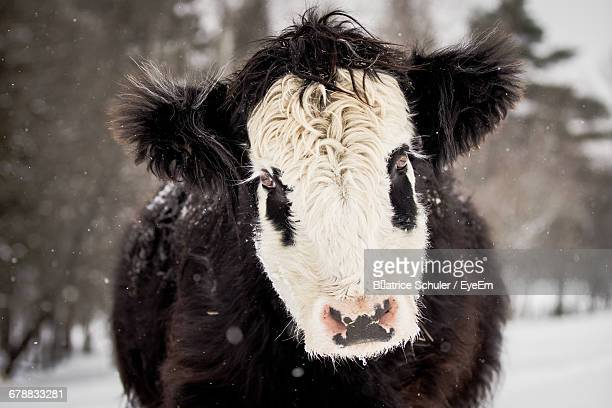 Close-Up Of Crossbred Cattle During Winter