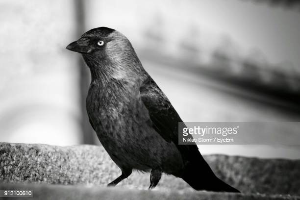 close-up of crow on steps - niklas storm eyeem stock photos and pictures