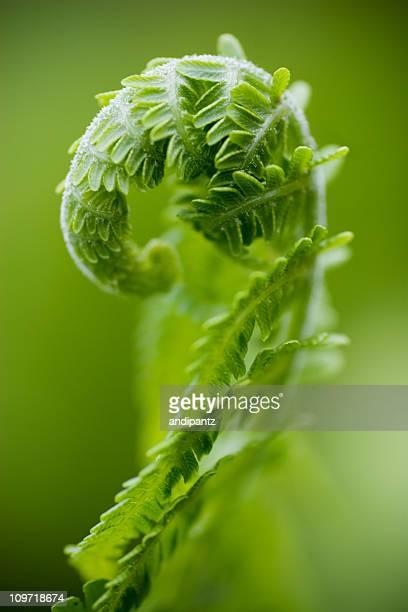 Close-Up of Curled Fern Leaf