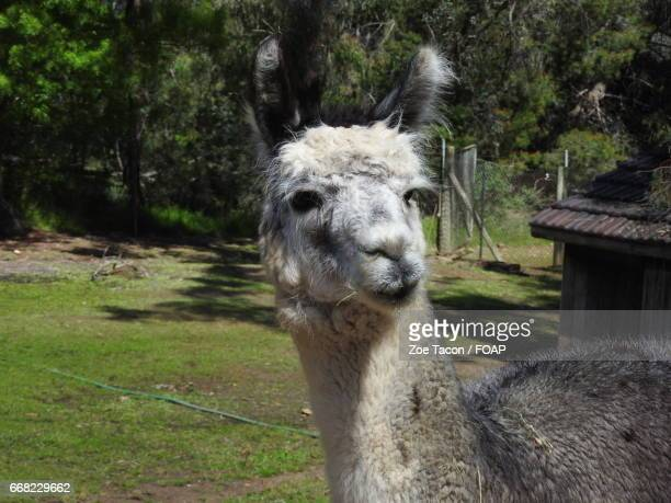 close-up of cute alpaca - ワガワガ ストックフォトと画像