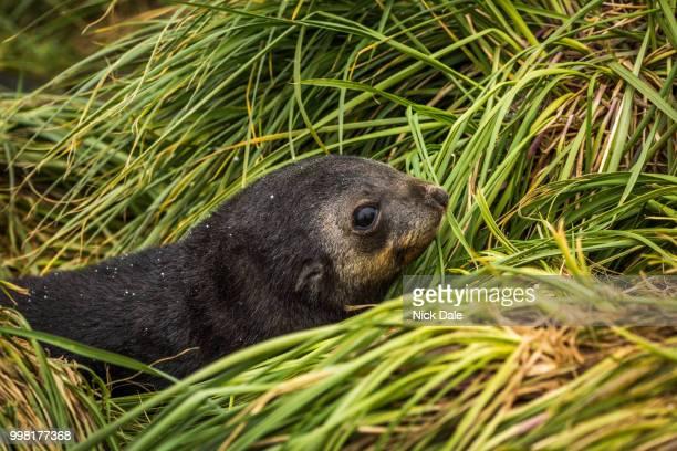 Close-up of cute Antarctic fur seal pup