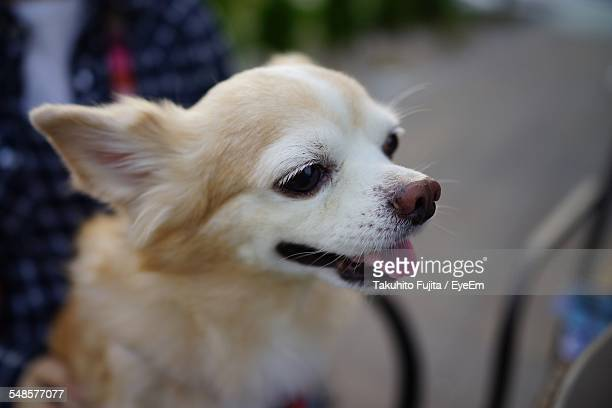 Close-Up Of Cute Chihuahua Looking Away